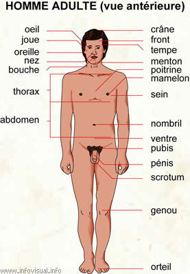 Anotomie du pnis : Tout ce qu'il faut savoir sur le pnis