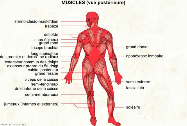 les muscles du dos...